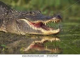 alligator 6 jpg.