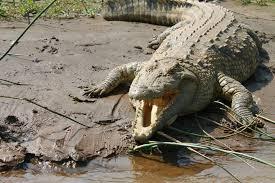 alligator 7