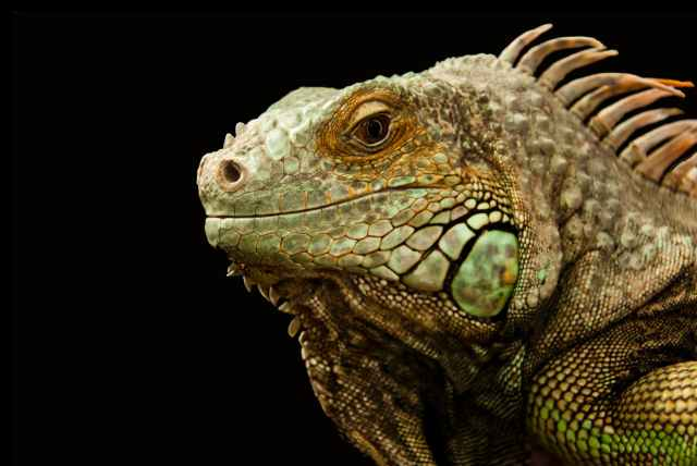 animal chameleon close up lizard