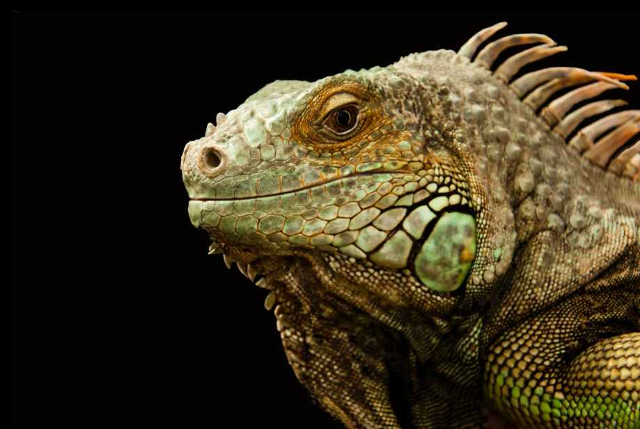 animal chameleon close up lizard